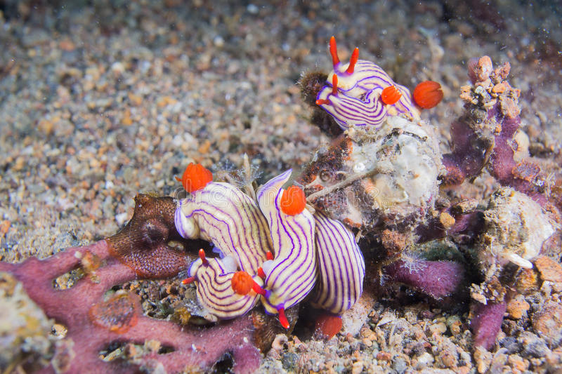 Cinque nudibranchs fotografia stock libera da diritti