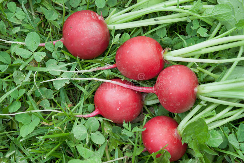 Cinque ravanelli rossi sull'erba immagine stock