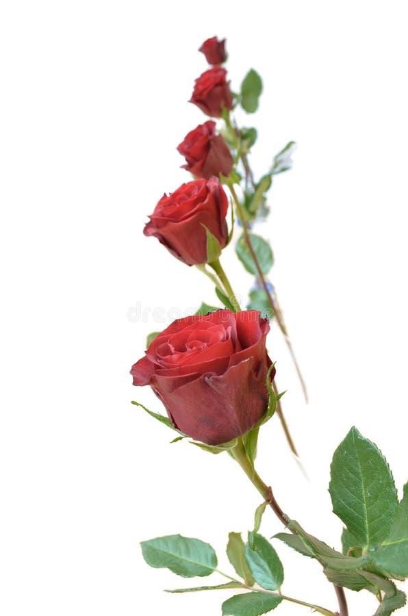 Cinque rose rosse fotografie stock