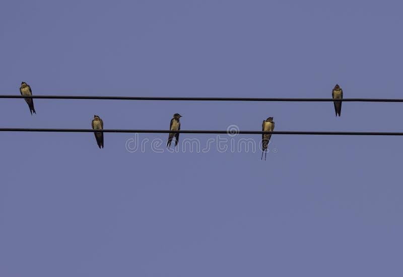Cinque swallows fotografia stock libera da diritti