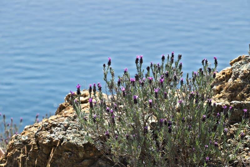 Cinque Terre, Ligurie, touriste de transport de bac d'Italy Un buisson de lavande avec un fond de mer photo stock
