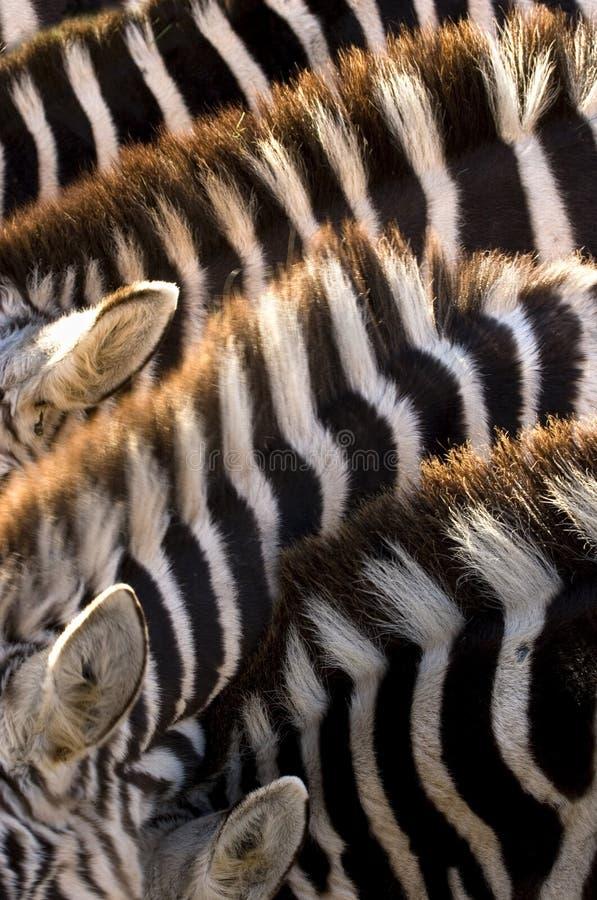 Cinque zebre fotografie stock libere da diritti