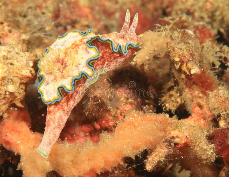 Cinta Nudibranch - Glossodoris стоковые изображения