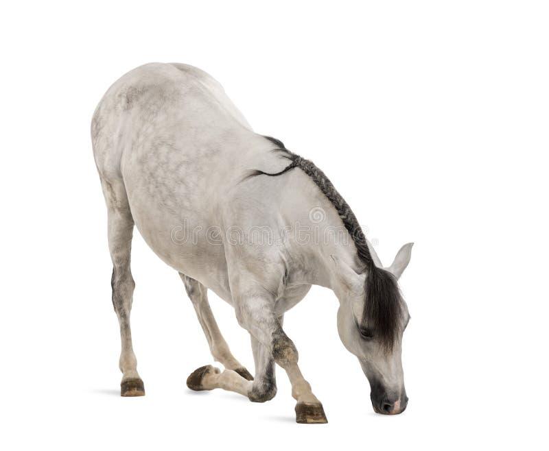Cintrage andalou de cheval photo libre de droits