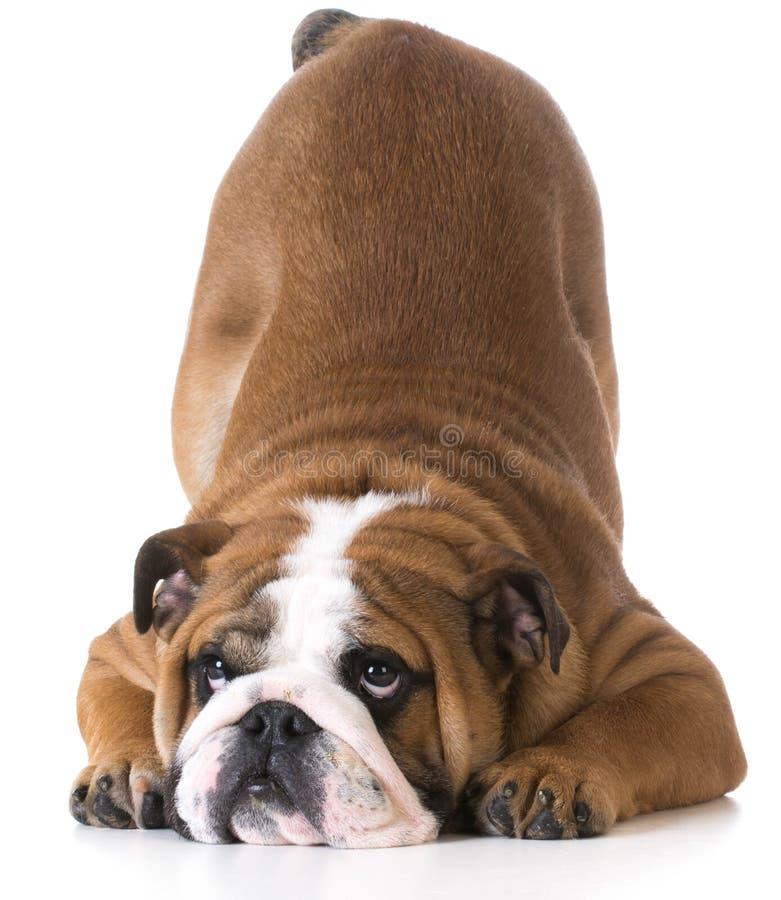 Cintrage de chien photo stock
