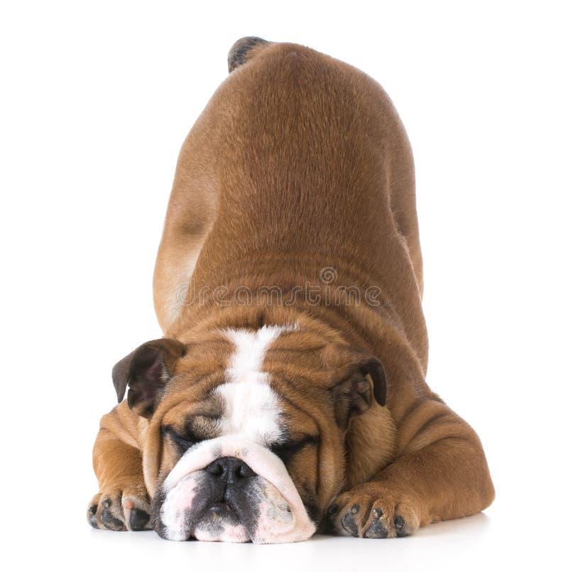 Cintrage de chien images stock