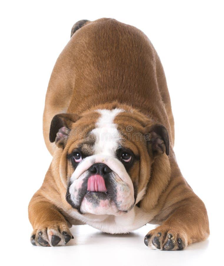 Cintrage de chien photo libre de droits