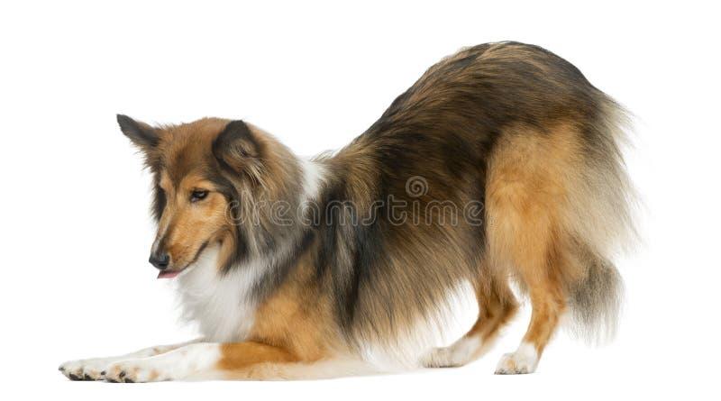 Cintrage de chien de berger de Shetland image libre de droits
