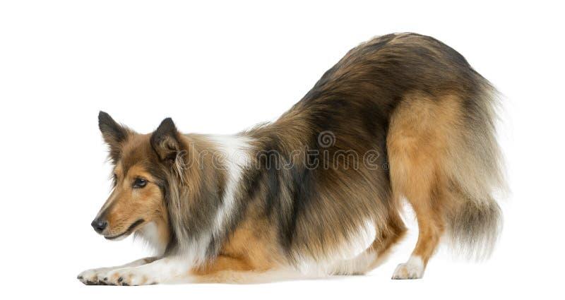 Cintrage de chien de berger de Shetland image stock
