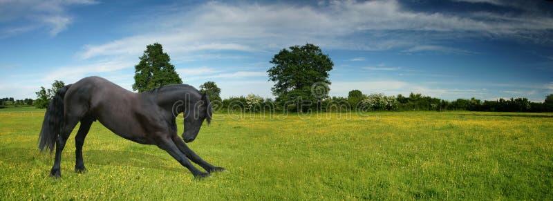 Cintrage noir de cheval photographie stock libre de droits