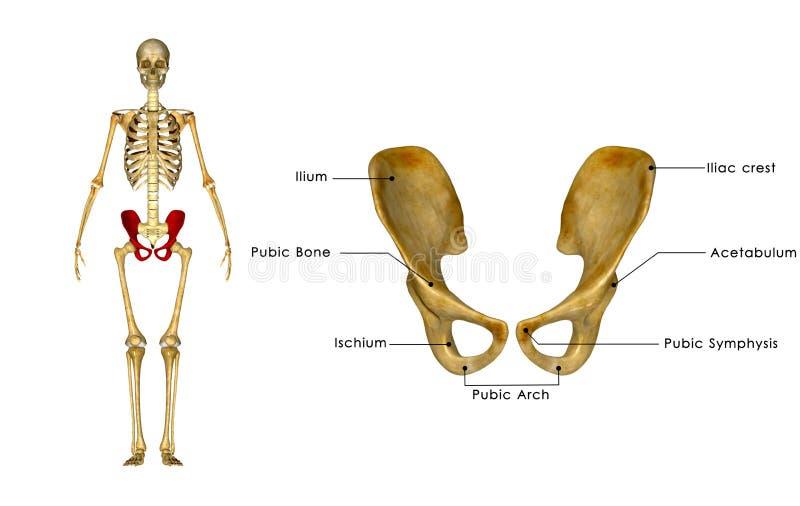 Cintura anca de Palvic ilustração stock