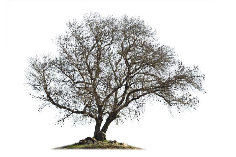 Cinza-árvore Leafless isolada no branco foto de stock royalty free