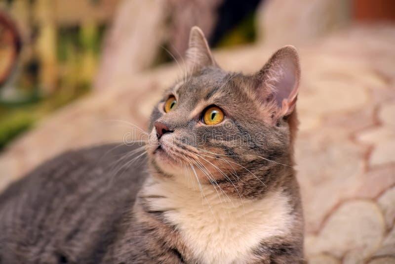 Cinza bonito com o grande gato doméstico branco foto de stock royalty free