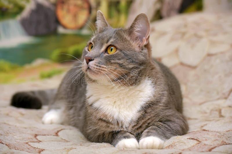 Cinza bonito com o grande gato doméstico branco fotografia de stock