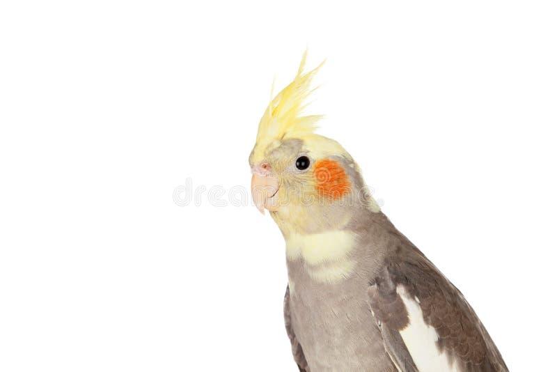 Cinza bonito da ninfa do papagaio com crista amarela imagem de stock royalty free