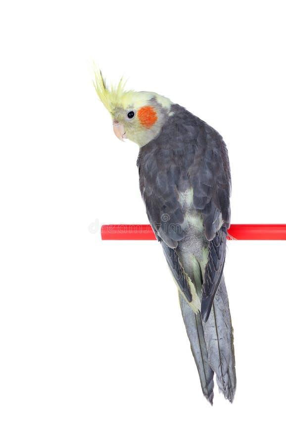 Cinza bonito da ninfa do papagaio com crista amarela imagem de stock