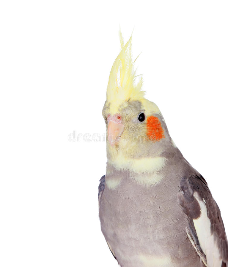 Cinza bonito da ninfa do papagaio com crista amarela fotos de stock