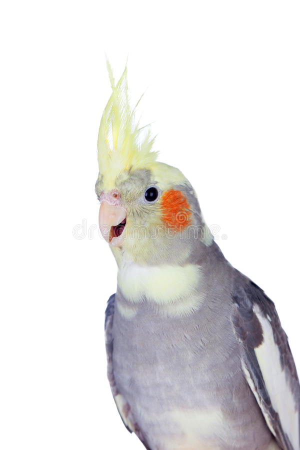 Cinza bonito da ninfa do papagaio com crista amarela fotografia de stock
