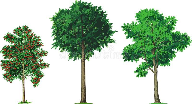 Cinza de montanha, faia e árvores de cinza. Vetor