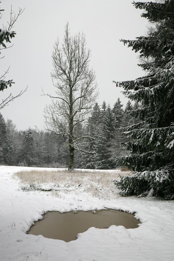 Cinza só que cresce no prado do inverno imagem de stock
