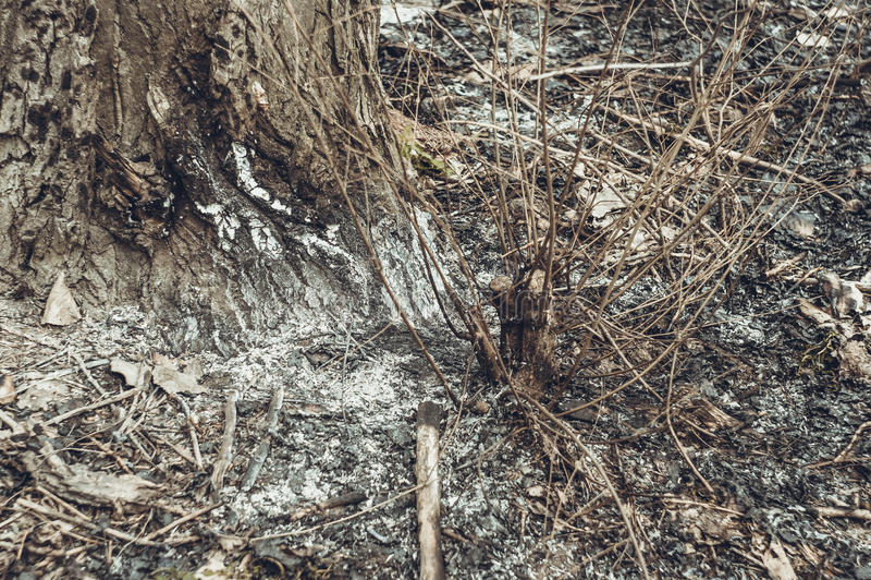 Cinzas na árvore fotografia de stock