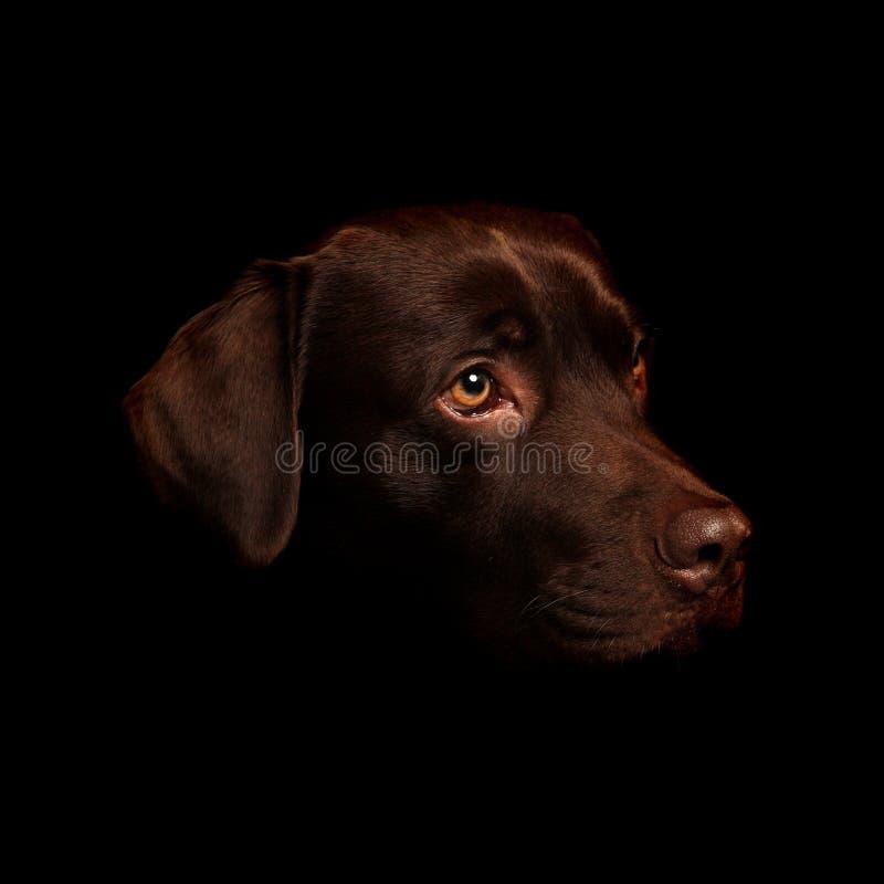 Cioccolato Labrador fotografia stock