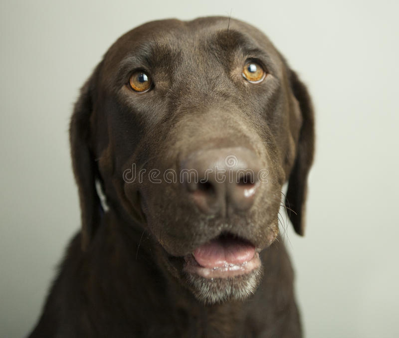 Cioccolato Labrador fotografia stock libera da diritti