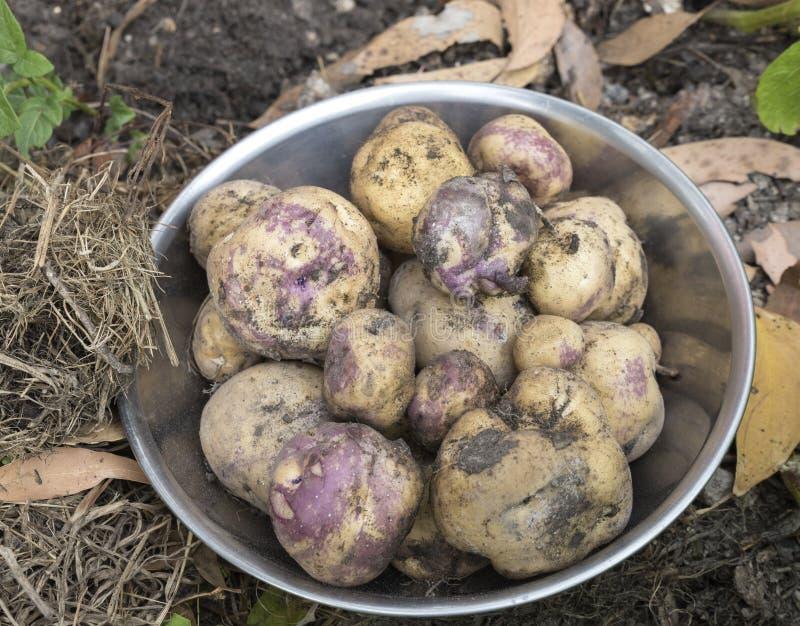 Ciotola di patate rosa dell'occhio fotografia stock