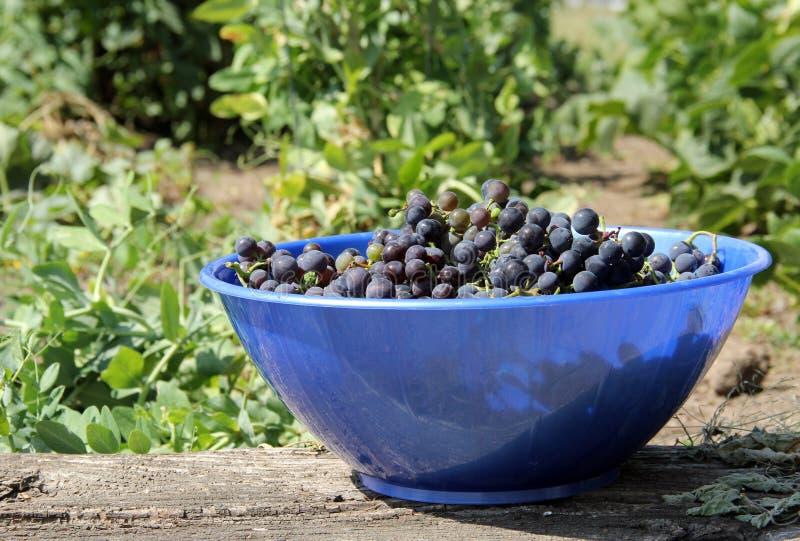 Ciotola di uva fotografia stock libera da diritti