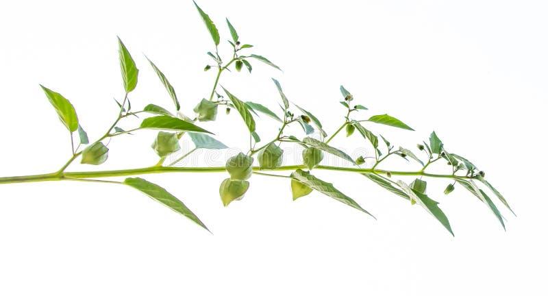 Ciplukan или Physalis Angulata, одно из диких растений, которые эффективно лечат различные заболевания стоковые фотографии rf