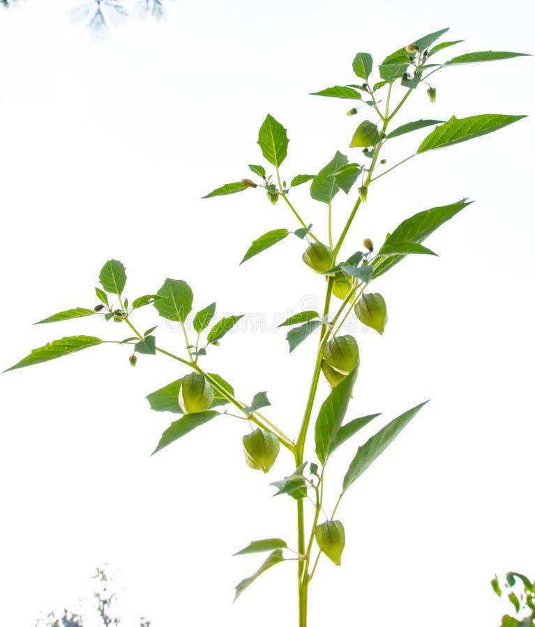 Ciplukan или Physalis Angulata, одно из диких растений, которые эффективно лечат различные заболевания стоковые изображения