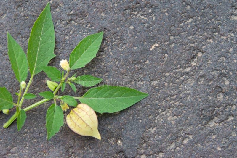 Ciplukan или Physalis Angulata, одно из диких растений, которые эффективно лечат различные заболевания стоковое изображение