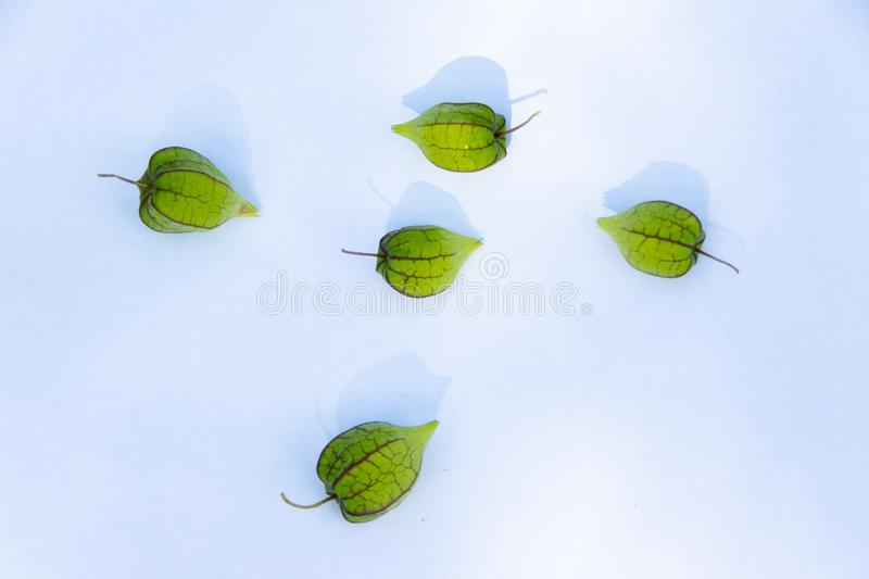 Ciplukan or Physalis Angulata, one of the wild plants that effectively treat various diseases stock photo