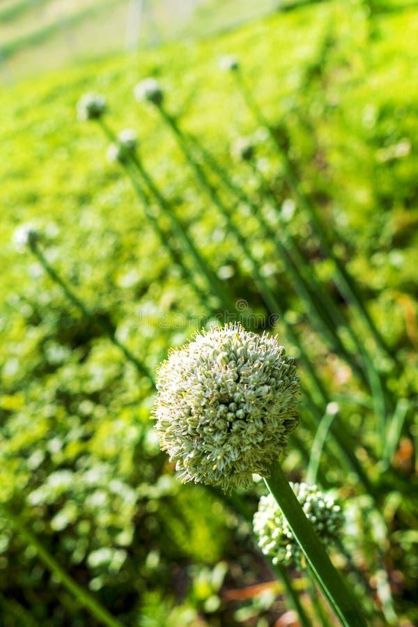 Cipolla di fioritura nel giardino durante il giorno di estate fotografia stock