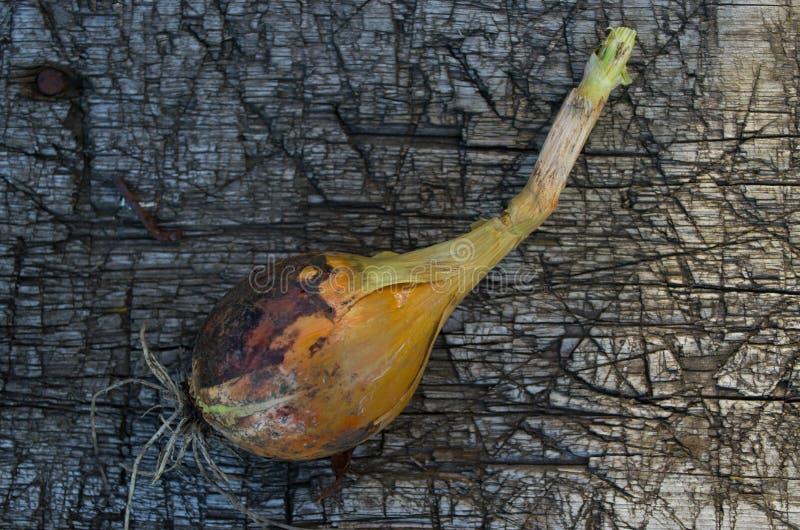 Cipolla, lacerata dalla terra fotografia stock libera da diritti