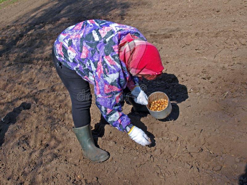 Cipolle 2 della semina fotografia stock immagine di terra for Semina cipolle