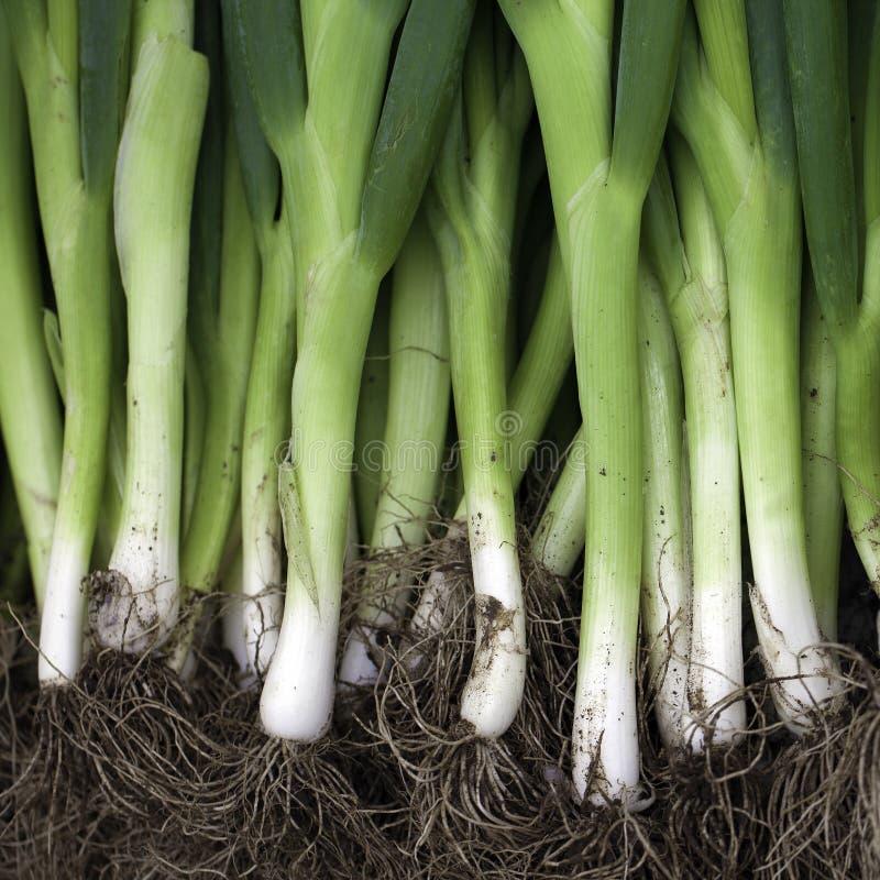 Cipolle cinesi verdi fotografia stock