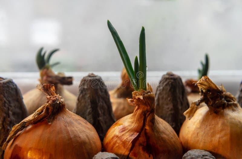 Cipolle di inverno che crescono in una scatola delle uova del cartone sul davanzale Fine in su fotografie stock