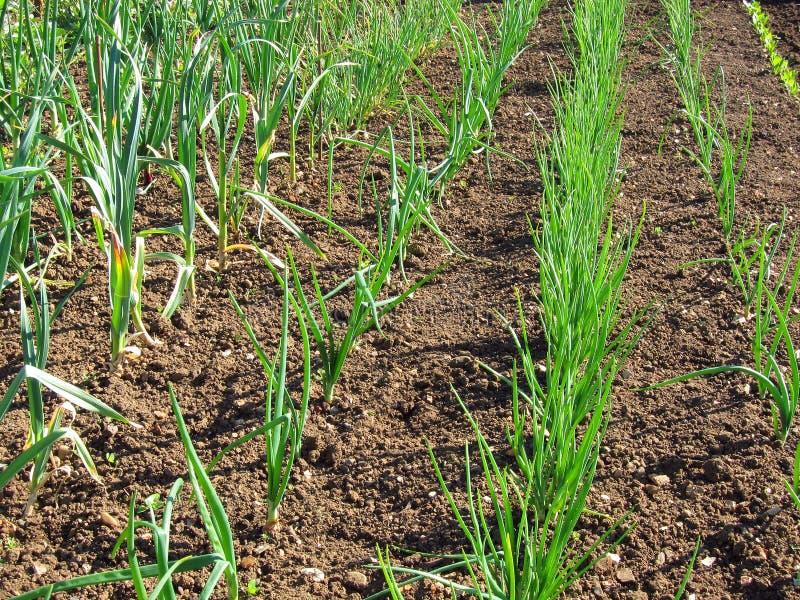 Cipolle e crescita dell'aglio. immagine stock libera da diritti