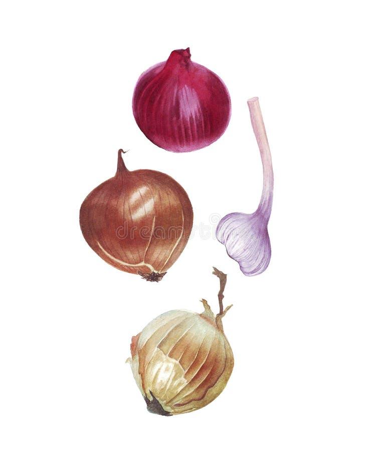 Cipolle ed aglio dell'acquerello su fondo bianco immagini stock