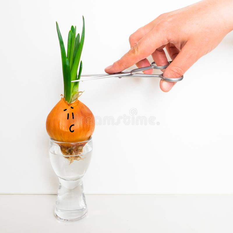 Cipolle germogliate Fronte divertente immagine stock