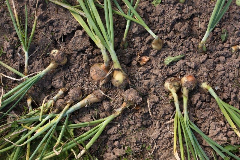 Cipolle mature e cadute pronte alla raccolta fotografie stock libere da diritti