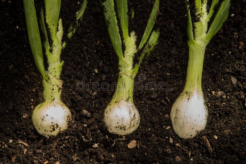 Download Cipolle organiche immagine stock. Immagine di nero, alimento - 55352625