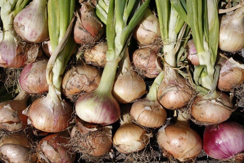 Cipolle organiche coltivate assegnazione immagini stock libere da diritti