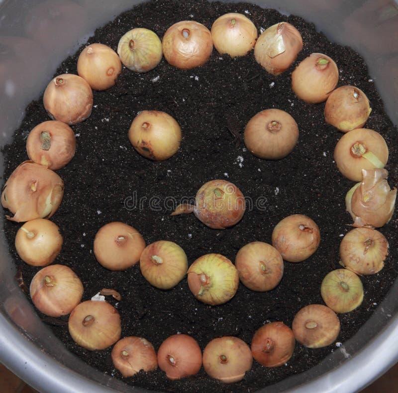Cipolle piantate in un contenitore rotondo sotto forma di una faccia sorridente su terreno fertile fotografia stock