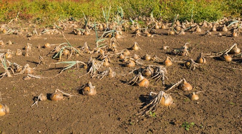 Cipolle in un campo bagnato fotografia stock