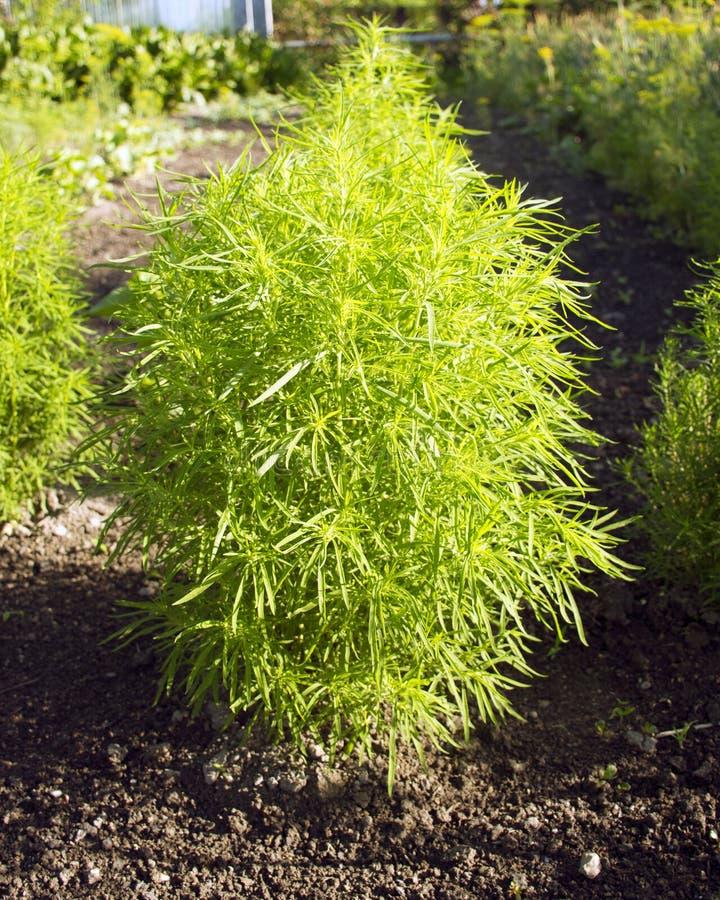 Ciprés anual arbusto verde del ciprés arbusto decorativo para el jardín kohia imágenes de archivo libres de regalías