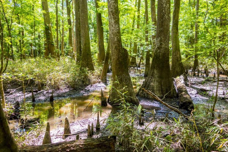 Cipres bosmoeras van het Nationale Park van Congaree in Zuiden Caro stock foto