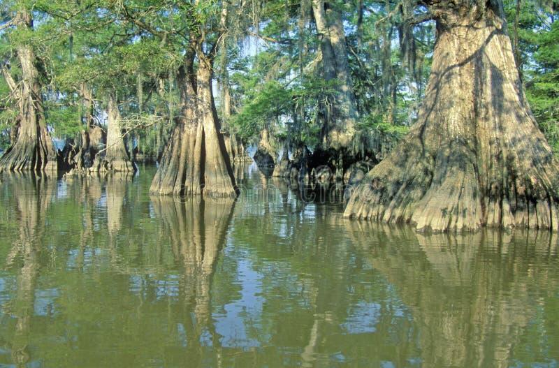 Cipresbomen in Bayou, het Park van de Staat van Meerfausse Pointe, Louisiane stock afbeelding