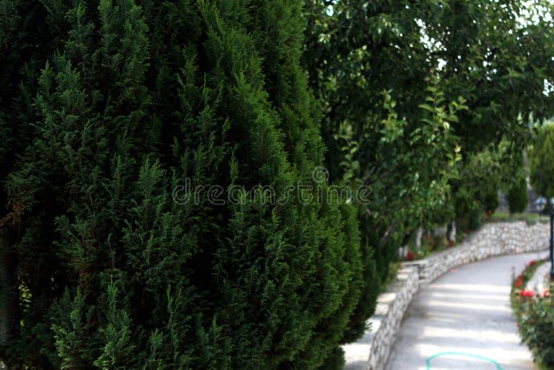 Cipreses verdes hermosos fotos de archivo